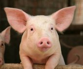 Bureau Veritas concede a Grup Gepork la certificación Animal Welfare Spain de INTERPORC